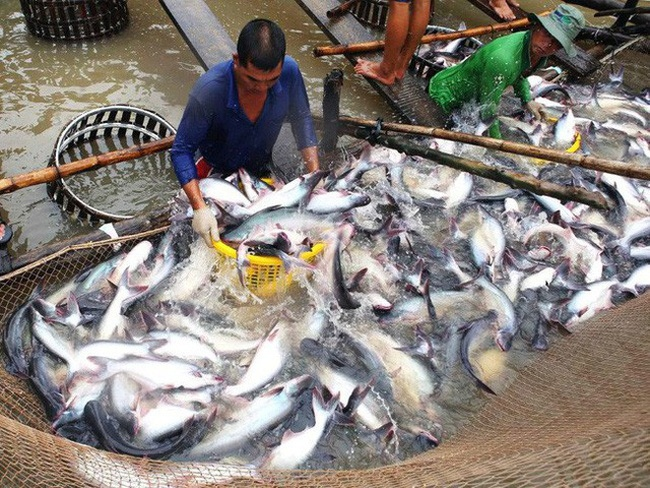 Tra fish export to Belgium increased by more than 34%