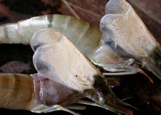 Phát triển phương pháp mới phát hiện bệnh đốm trắng trên tôm