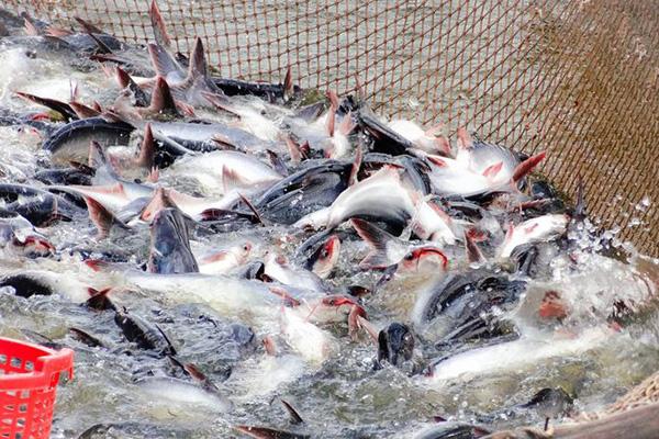 Doanh nghiệp đầu tư nuôi trồng thủy sản được hỗ trợ tối đa 15 tỷ đồng/dự án