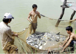 Hanoi City: Aquaculture production is estimated at 51,000 tons