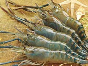 Tổng cục thủy sản > VietNam Fisheries > Aquaculture