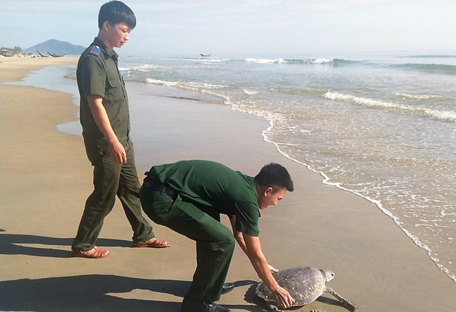 Lang Co fishermen and functional forces coordinated to release a precious hawksbill trapped in Lang Co fishermen' net into the sea.