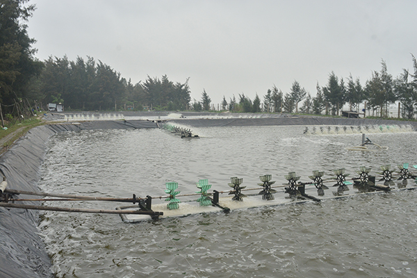 Thanh Hoa: A Shrimp Farming Model for The Winter Season Achieves High Productivity